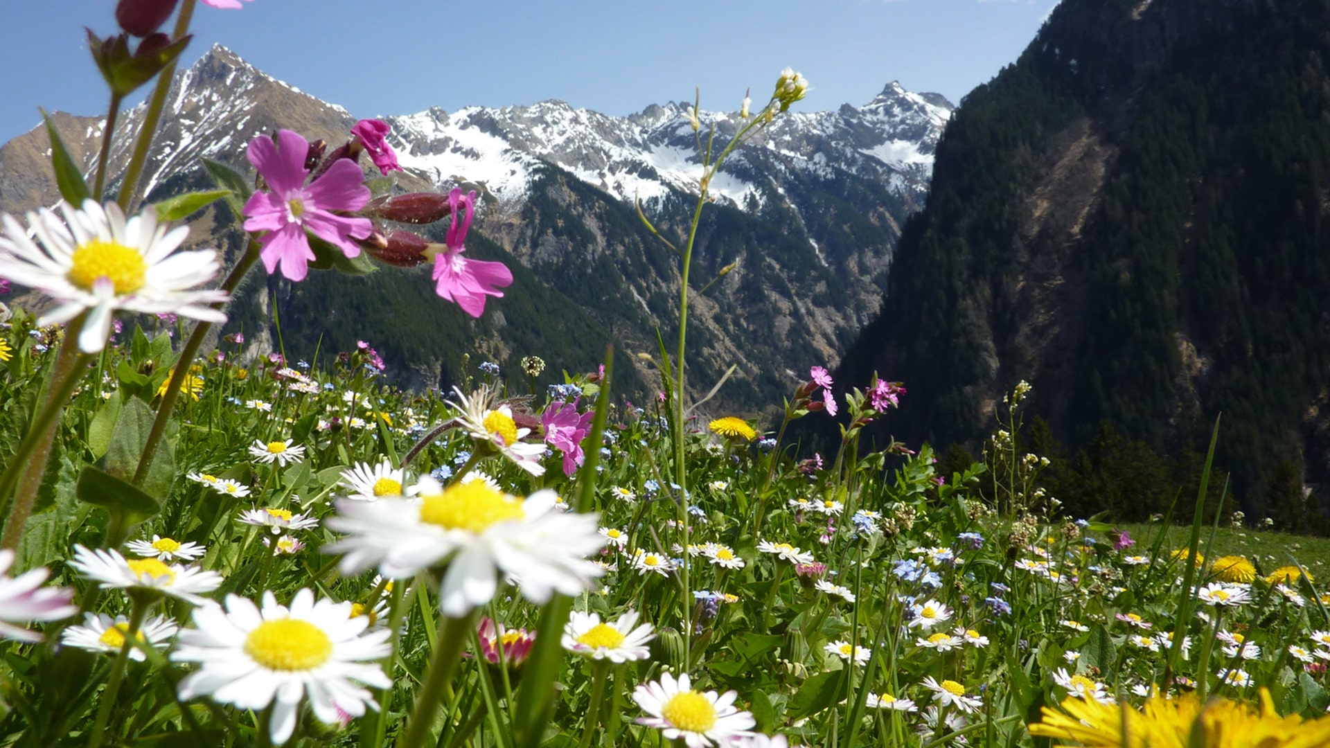 Blumenwiese vor Bergpanorama-min